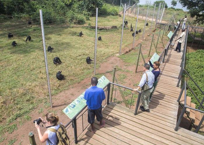 3 days chimpanzee safari Ngamba Island