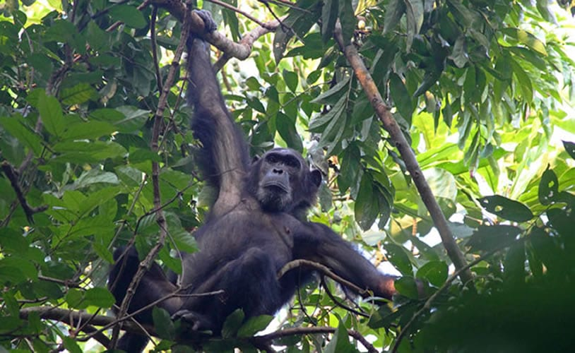2 day Chimpanzee tracking safari Nyungwe.