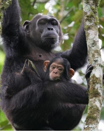 Chimpanzee tracking in Kibale National park.