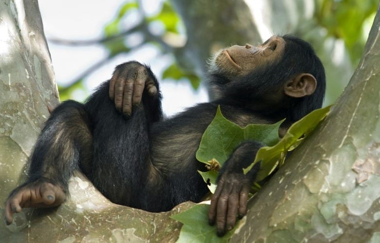 Chimpanzees in Kibale forest Park