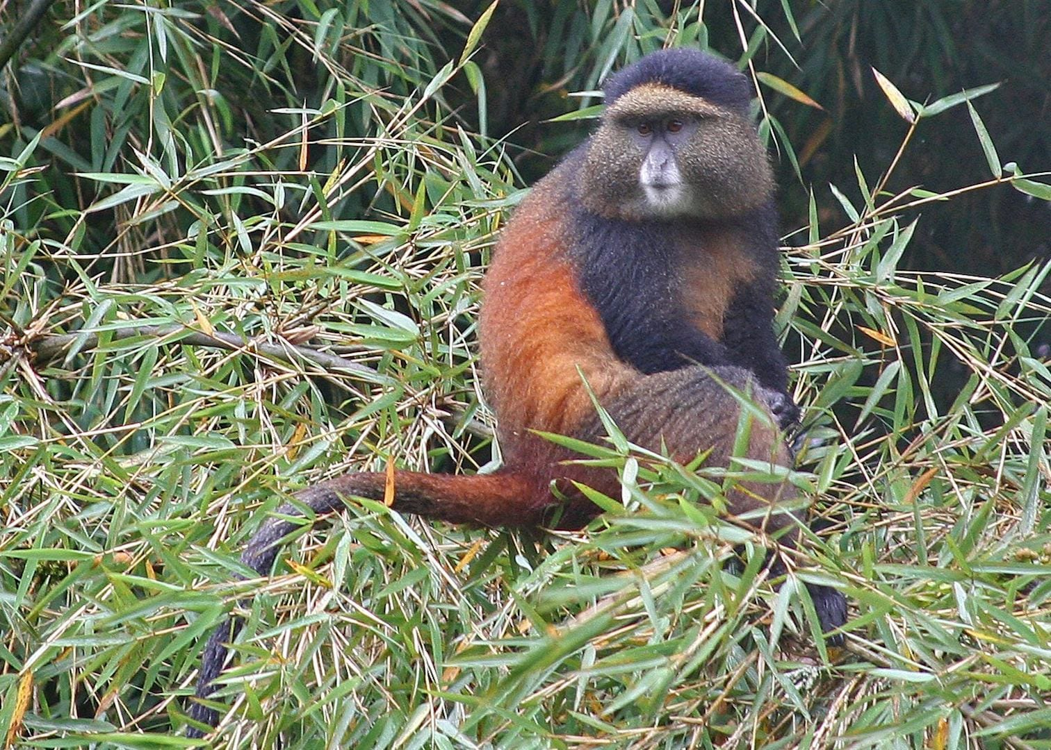 Golden monkey trek in Volcanoes national park