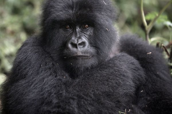 5 days gorilla trekking and Karisimbi Hike