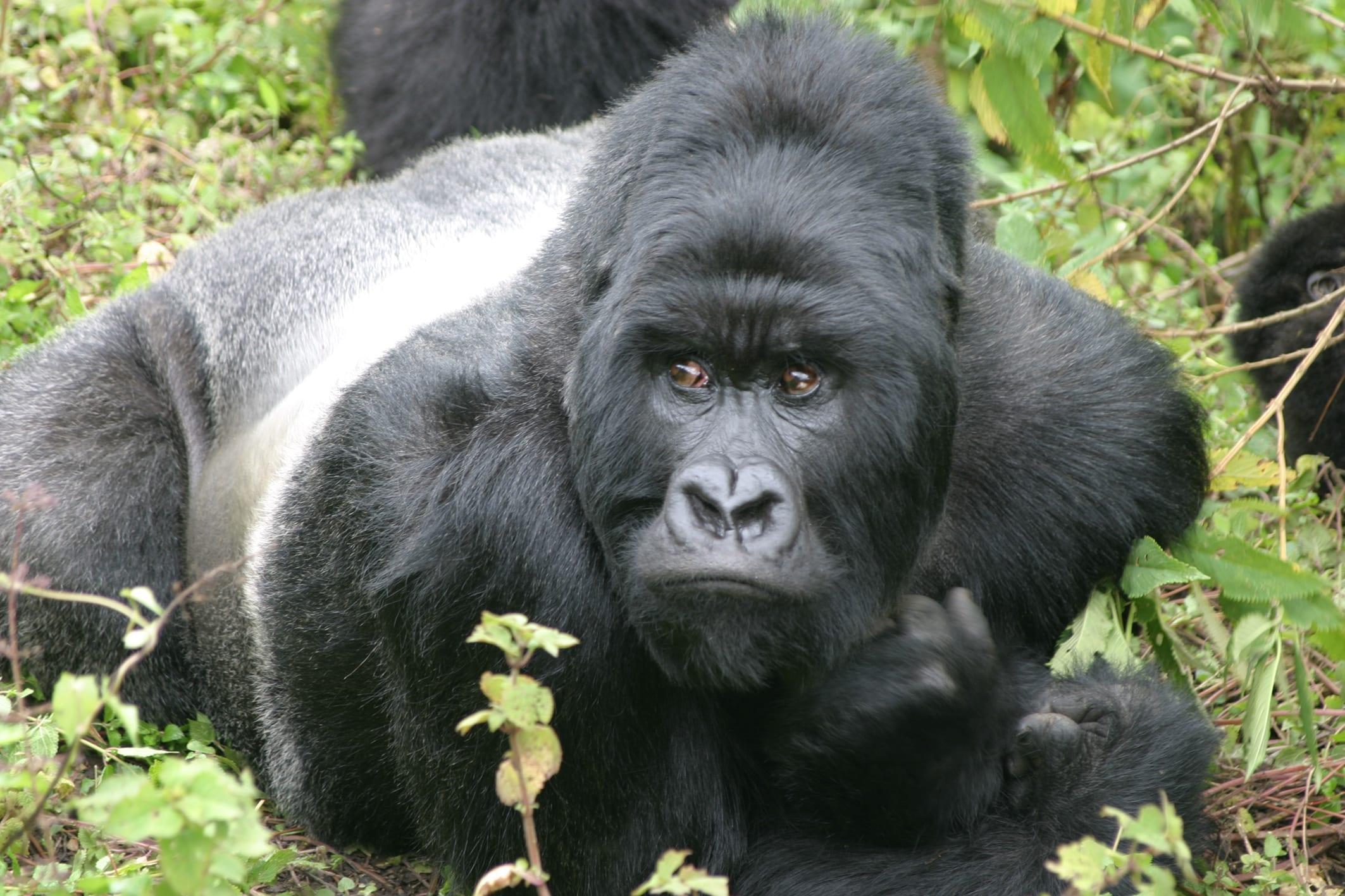 Gorilla tracking Uganda Rwanda