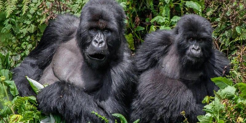 16 Days gorilla tracking Uganda Rwanda.