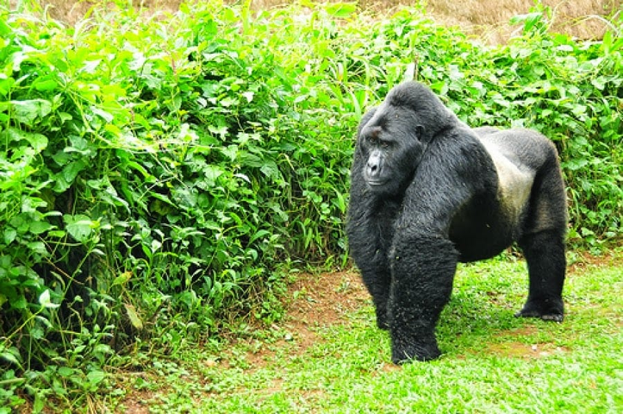4 days Rwanda gorilla & Golden Monkey safari