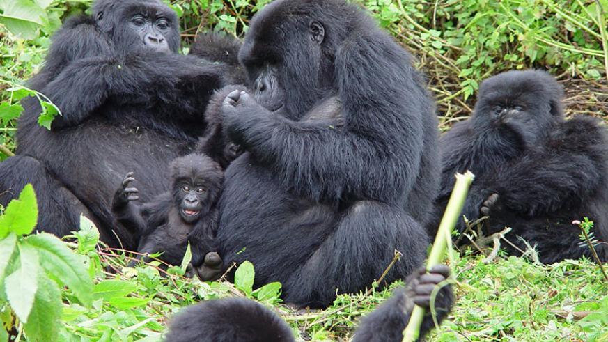 17 days Gorilla Tour
