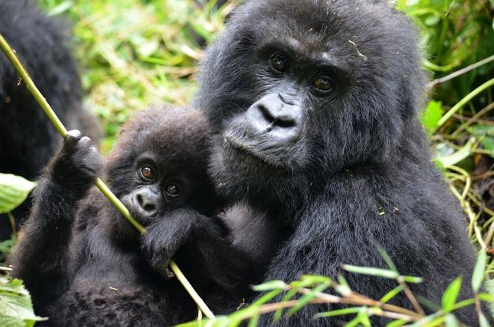 18 Days Gorilla safari Rwanda Uganda.