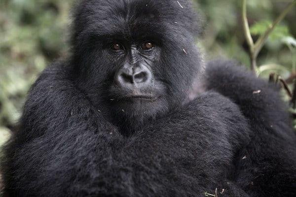 1 Day gorilla trekking Rwanda.