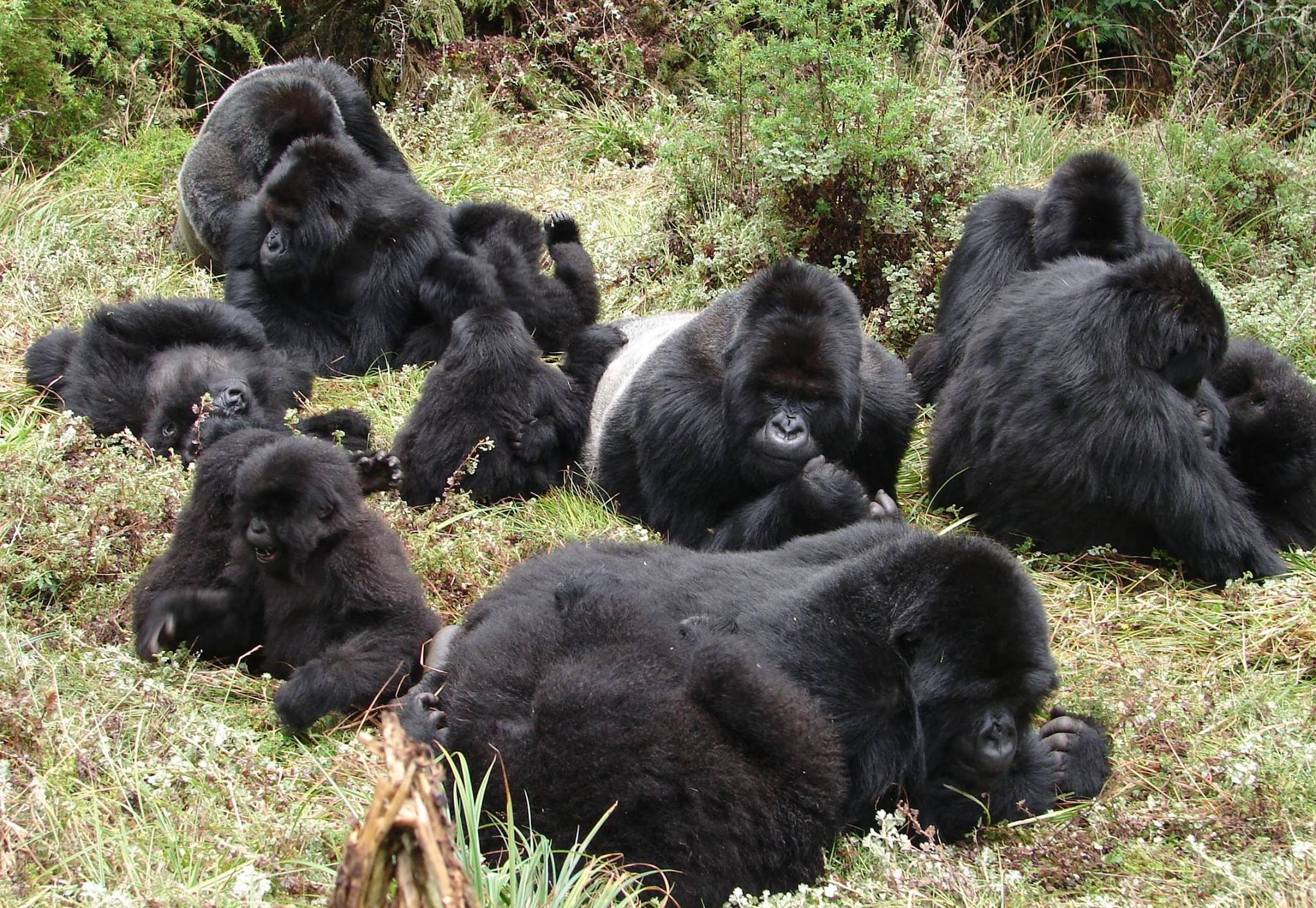 Gorilla groups/ families available in Uganda.