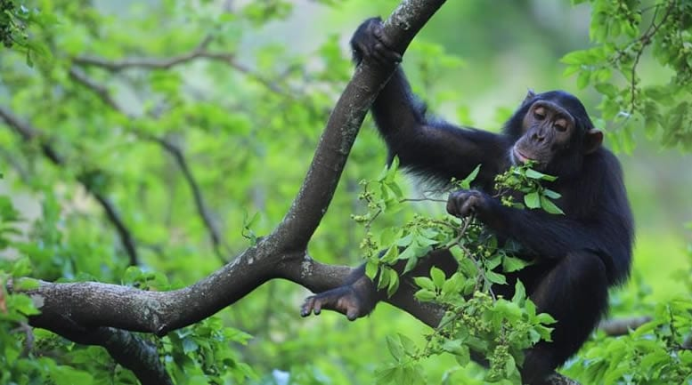 Chimpanzee tracking safari