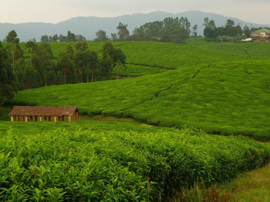 Tea Plantation rwanda - Lake Kivu