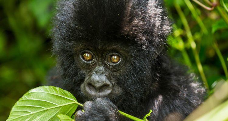 Difference Between Gorilla Trekking In Uganda And In Rwanda