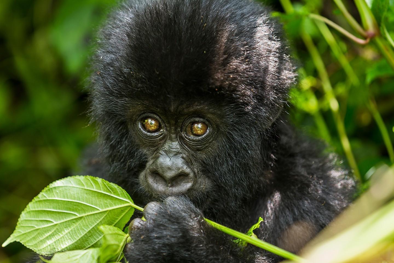 Difference between gorilla trekking in Uganda and in Rwanda.