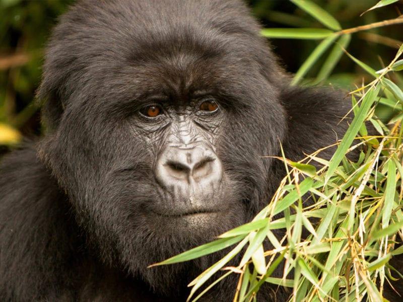 Gorillas In Mgahinga