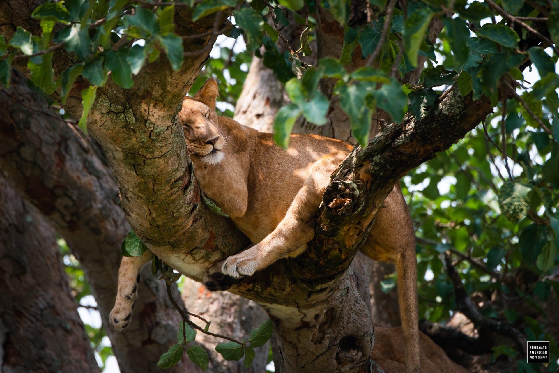 Tree climbing lions-
