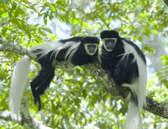 Black and white colobus monkeys in Nyungwe
