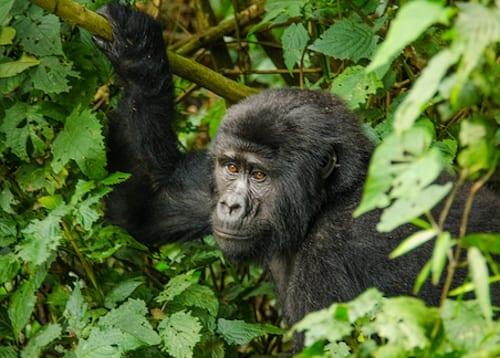 1 day Uganda gorilla trekking