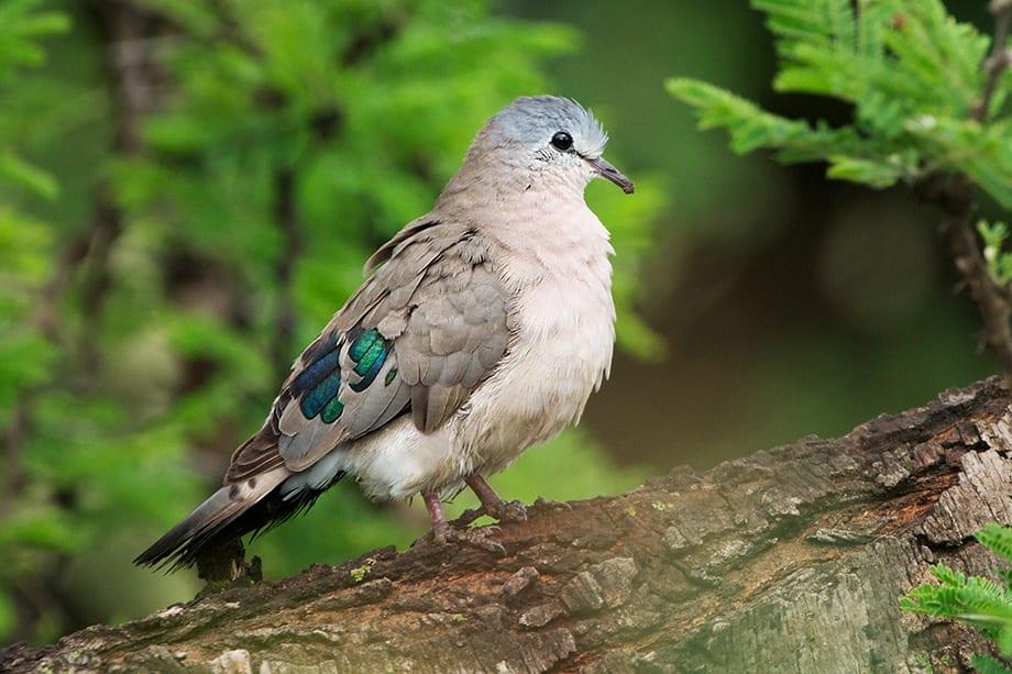 10 Days Uganda birding trip