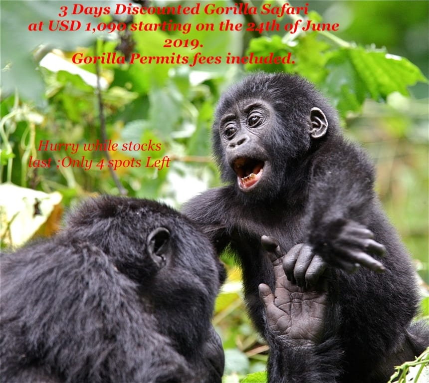 3 days Discounted Gorilla safari Uganda