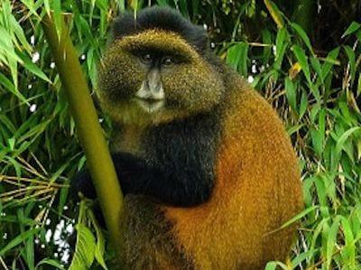 6 days Uganda Rwanda primate tour