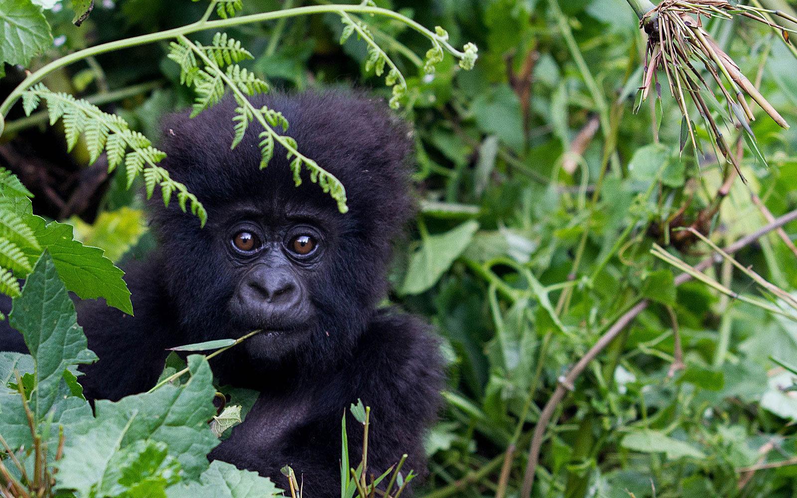 3 days gorilla safari Rwanda