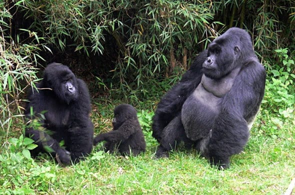 4 days gorilla, chimpanzee trekking tour