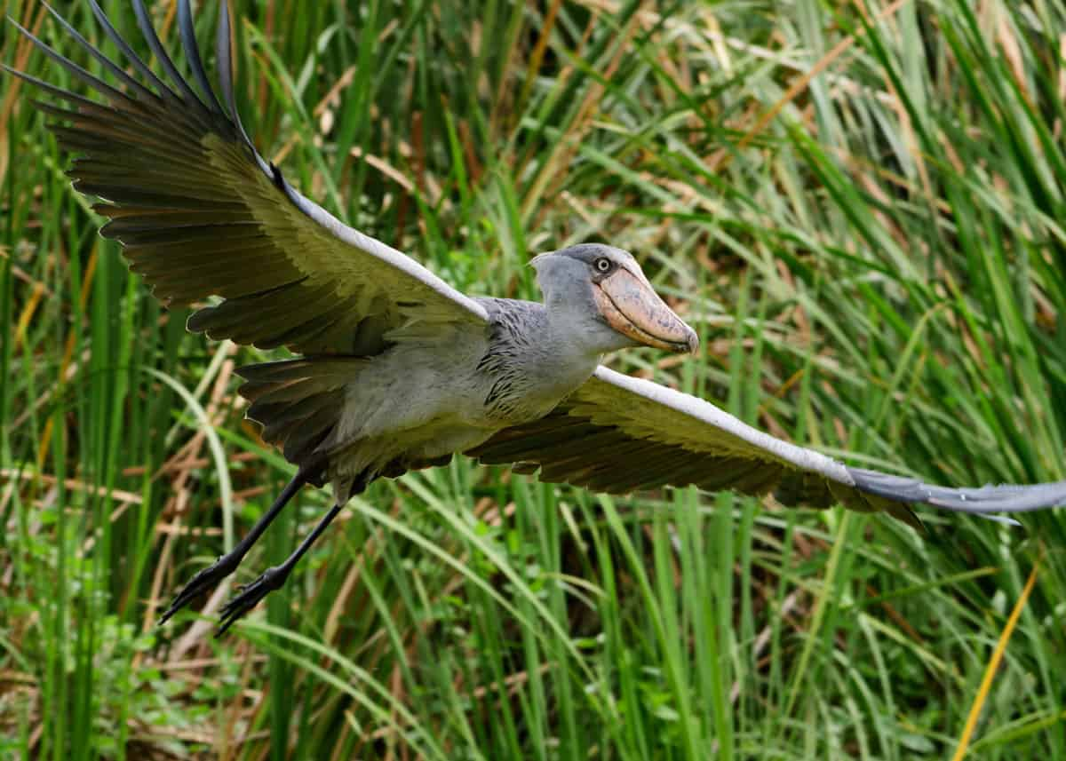1 day bird watching safari Mabamba wetland
